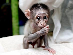 Llanto de mono por su madre atropellada conmueve Arabia Saudita