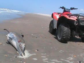 Misteriosa muerte de delfines, lobos, ballenas y tortugas en Sechura
