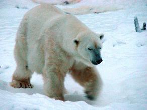 Altas temperaturas de invierno no permiten hibernar a los osos en Rusia