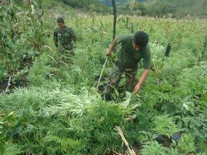 Destruyen 65 mil plantones de marihuana en Huánuco