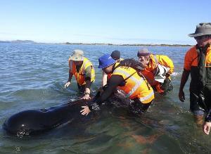 Sacrificarán ocho ballenas que se quedaron varadas en Nueva Zelanda