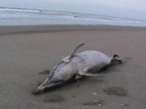 Muerte de especies marinas en Piura se debería a pesca ilegal, opinan