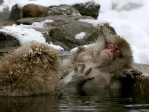 Monos de nieve combaten el frío con baños de aguas termales en japón
