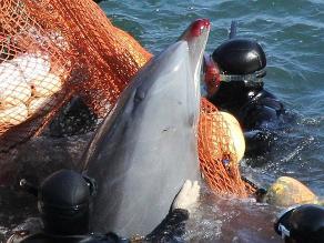 Japoneses defienden la caza de delfines ante las críticas