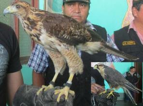 Chiclayo: decomisan halcones y águilas que eran transportados ilegalmente