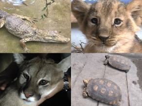 Zoológico de Huancayo recibe a un león, un caimán y dos pumas