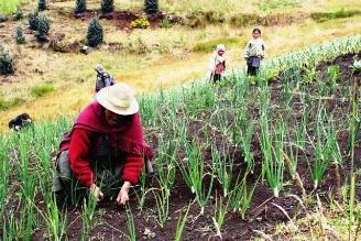 Ayacucho: cultivos de papa, quinua y habas afectados por heladas