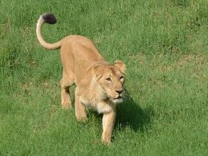 Colocan collares a leones de reserva de Nairobi para protegerlos