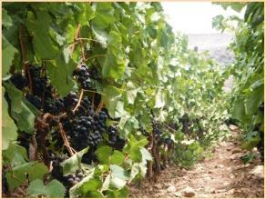 La Libertad: ausencia de lluvias afectaría sembríos de uva en Cascas