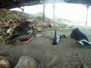 La Libertad: sacrifican y matan a delfines en playas de Pacasmayo