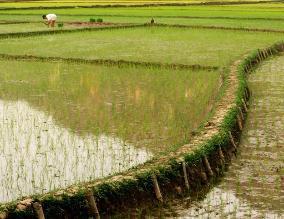 Hay presencia de Añublo en arroz de región San Martín