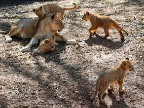 Cachorros de león son exhibidos tras fuerte temporal en EE.UU