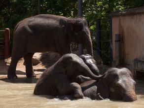 Estudio muestra que los elefantes se consuelan entre sí