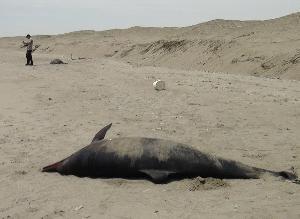 Reportan muerte de más de 100 nuevos ejemplares marinos en Lambayeque