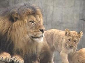 VIDEO: Un león ve a sus cachorros por primera vez