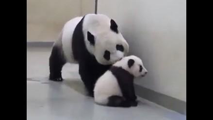 Video: Tierno osito panda no quiere dormir, mira cómo su mamá lo convence