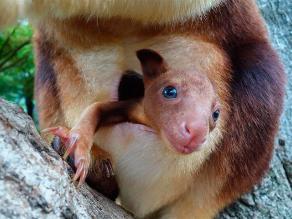 Joey, el primer canguro arbícola nacido en cautivero tras 20 años