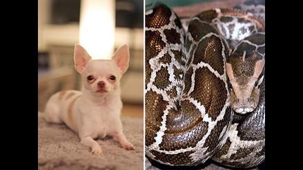 Serpiente pitón se traga una perrita chihuahua en Australia