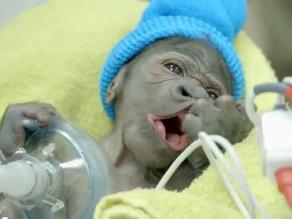 Nace por cesárea una bebé gorila en zoológico de EEUU