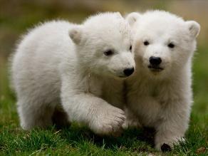 Nacen dos crías de osos polares en Múnich