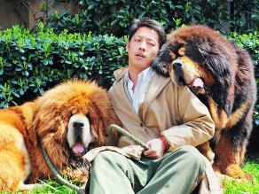 Conoce por qué los perros que parecen leones valen 2 millones de dólares