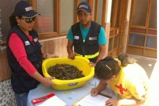 Decomisan 180 kilos de camarón en mercado de Arequipa