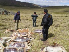 Ayacucho: desconocidos matan 90 cabezas de vicuñas en Lucanas