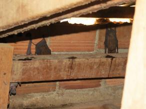 Pasco: tres colegios invadidos por murciélagos en distrito de Puagmaray