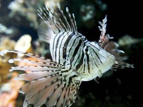 Peces de aguas con CO2 con más probabilidad de morir ante depredadores