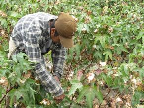 Pisco: productores algodoneros realizarán paro agrario este miércoles