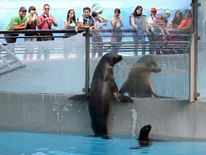 Presentan a cría de lobo de mar nacida en cautiverio en el Parque de las Leyendas