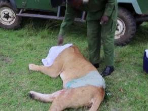 Kenia: Veterinarios salvan a leona corneada por búfalo