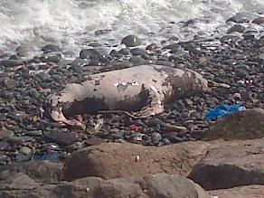 Hallan lobo de mar muerto en playa Tres Picos de Miraflores