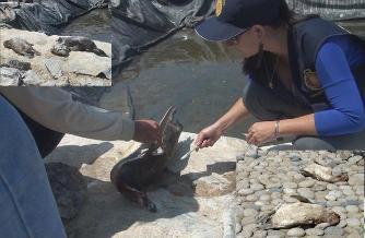 Chiclayo: fiscalía investiga muerte de 5 pingüinos en centro de rescate
