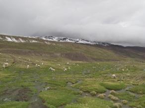 Arequipa: Inician traslado de ganado afectado por el volcán Ubinas