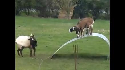 Brasil crea primera cabra clonada genéticamente en América Latina