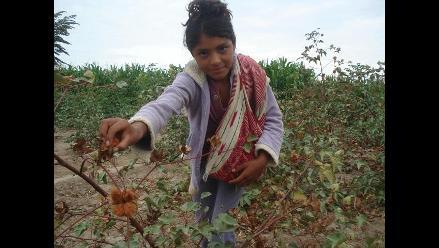 Instalarán desmotadora de algodón nativo en Lambayeque