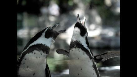 Encuentran virus de gripe aviar en pingüinos de la Antártida