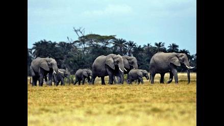 Elefantes de Tanzania amenazados de extinción antes de 7 años