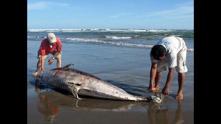 Darán S/.1,500 a quienes informen sobre caza y venta de delfines