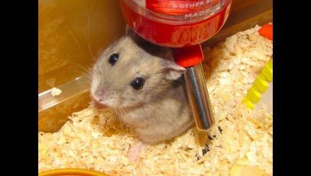 Ratones discapacitados vuelven a caminar con células madre humanas