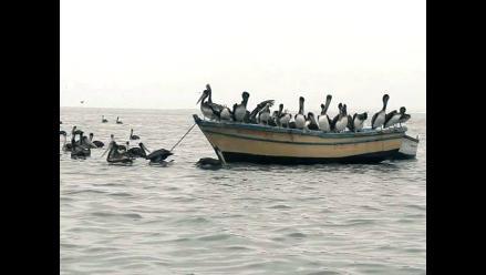 Trujillo: Advierten presencia de pelícanos en playa de Salaverry