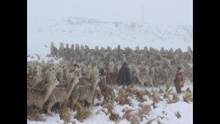Puno: bajas temperaturas provocan muerte de alpacas
