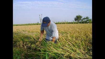 Minagri trabaja proyecto para sustituir cultivos de arroz por quinua