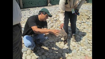 Chiclayo: aún no imponen sanción por muerte de 5 pingüinos