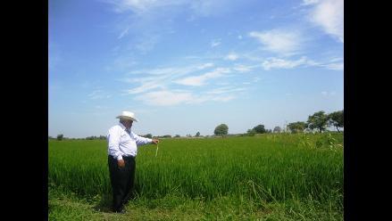 Cosecharán más de 30 mil hectáreas de arroz en Lambayeque