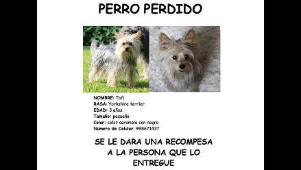 Buscan a perro de raza yorkshire terrier cerca a distrito de La Molina