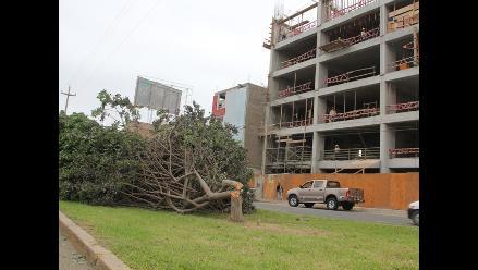 Trujillo: denunciarán a desadaptados que talaron tres árboles