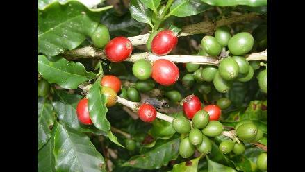 JNC: Se renovaron 15 mil hectáreas de café en el último año