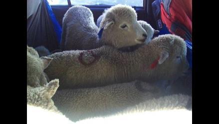 La Oroya: intervienen un auto con ovinos valorizados en 18 mil soles